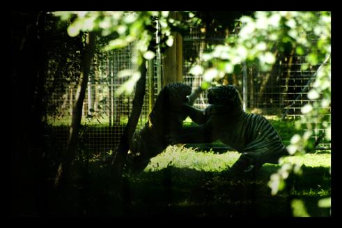 tigreblanc12.jpg