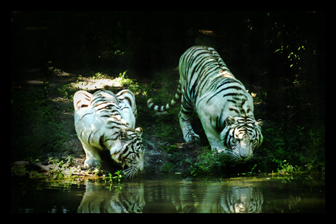 tigreblanc24.jpg