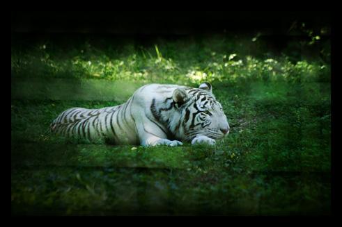 tigreblanc3.jpg