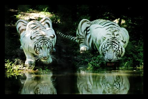 tigreblanc30.jpg
