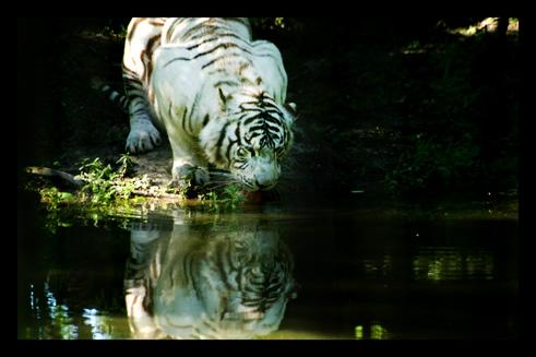tigreblanc32.jpg
