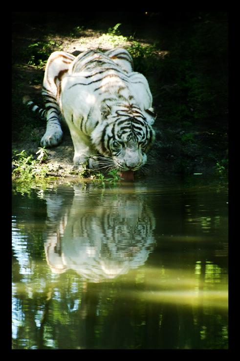 tigreblanc37.jpg