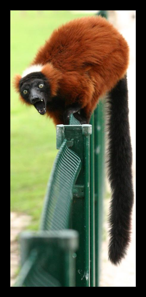 lemuriens103.jpg