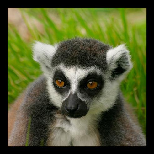 lemuriens18.jpg