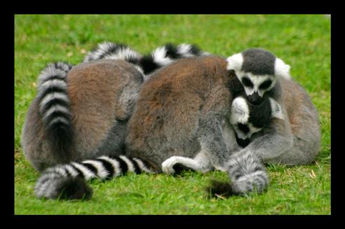 lemuriens26.jpg