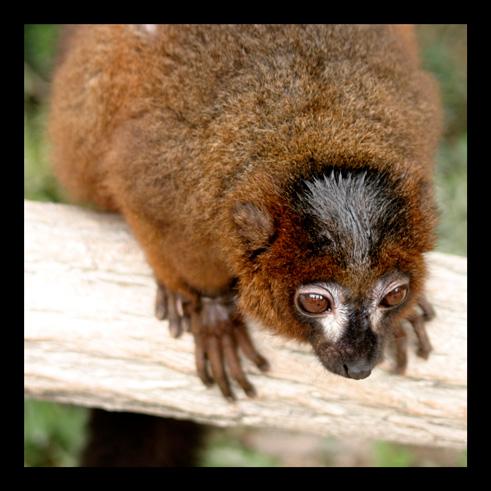 lemuriens34.jpg
