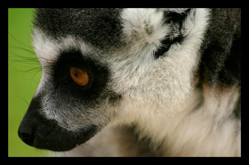 lemuriens40.jpg