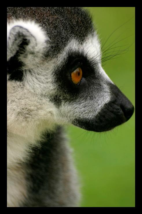 lemuriens46.jpg