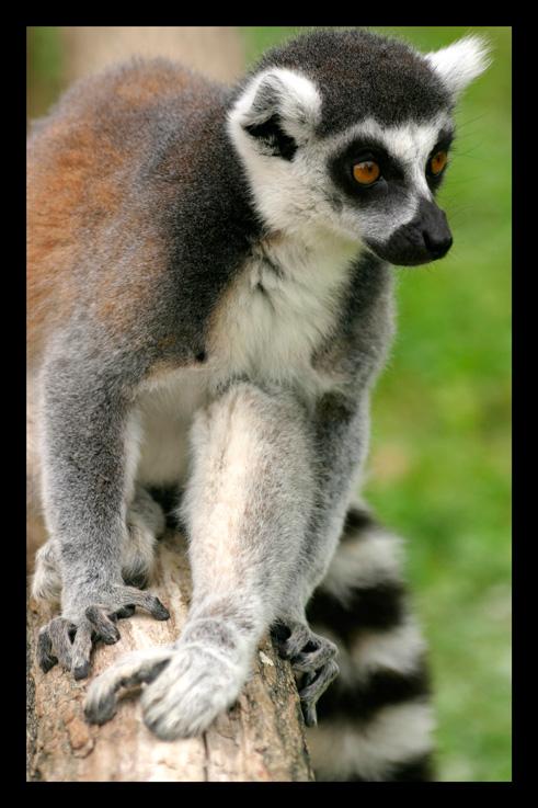 lemuriens50.jpg