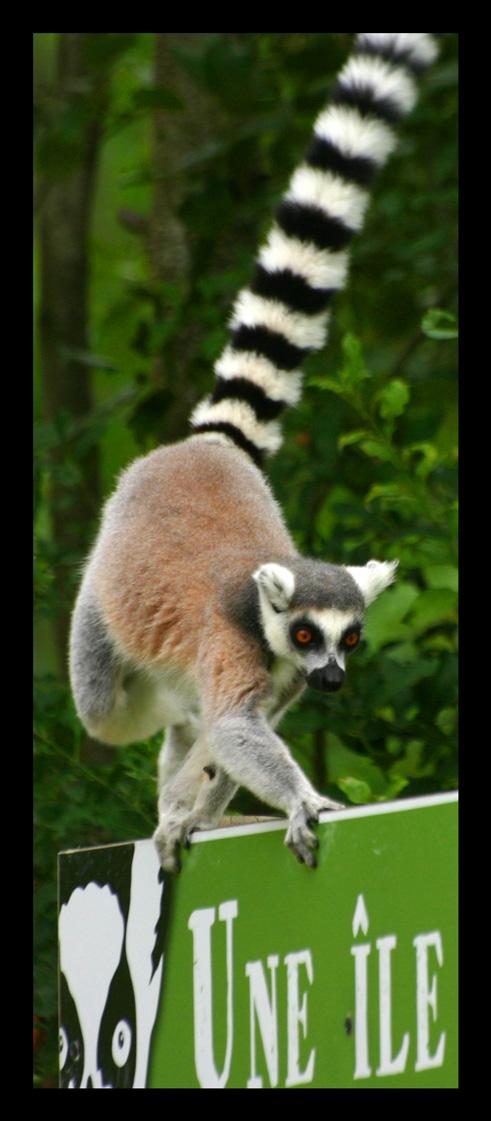 lemuriens62.jpg