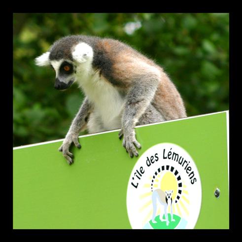 lemuriens73.jpg