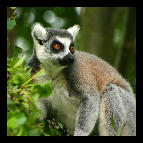 lemuriens80.jpg