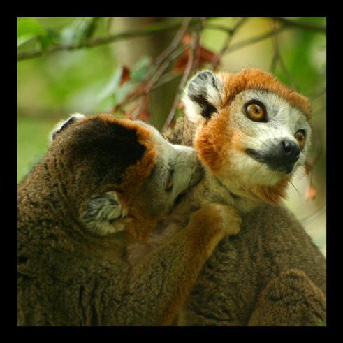 lemuriens95.jpg