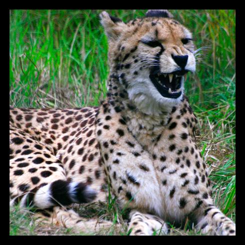 leopardjaguarpanthere12.jpg