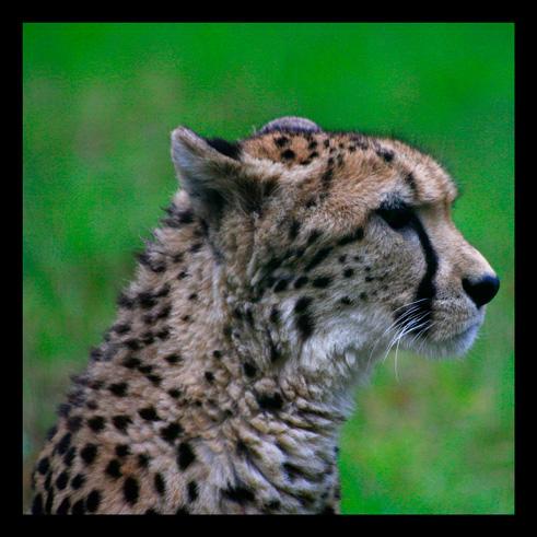 leopardjaguarpanthere19.jpg