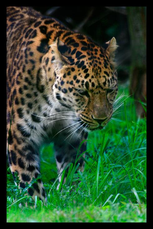 leopardjaguarpanthere3.jpg