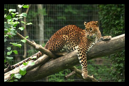 leopardjaguarpanthere30.jpg