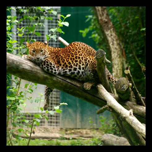 leopardjaguarpanthere46.jpg