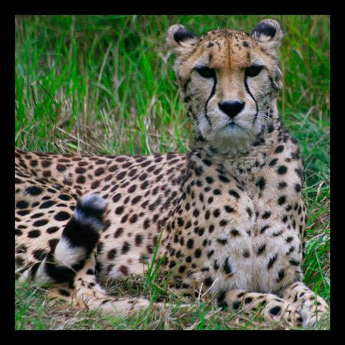 leopardjaguarpanthere8.jpg