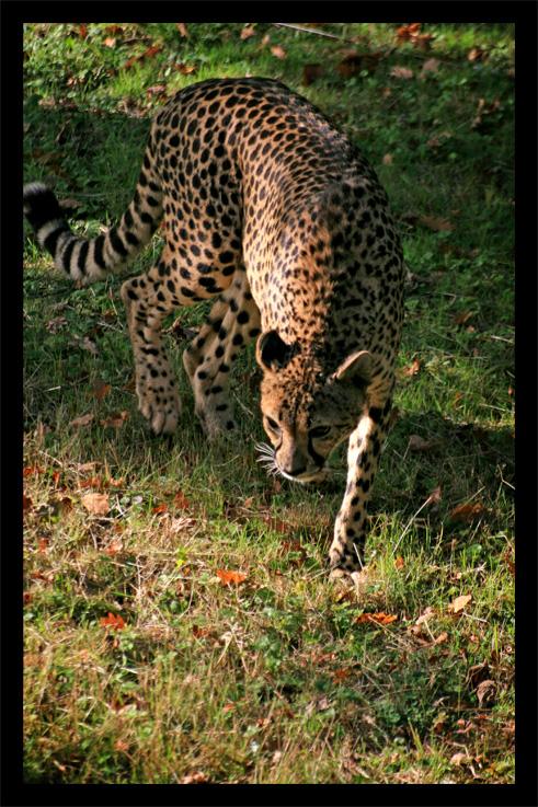 guepard3.jpg