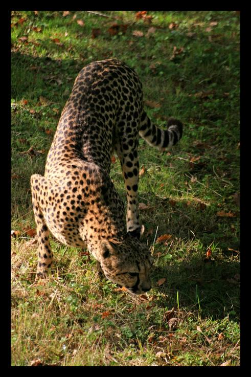 guepard4.jpg