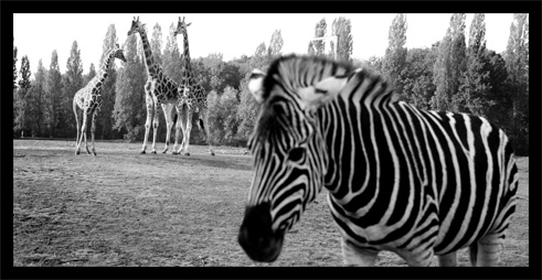animaux noir et blanc zoo de thoiry blog photo de lionel et emilie. Black Bedroom Furniture Sets. Home Design Ideas