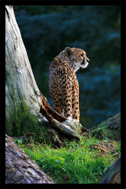 guepard22oct.jpg