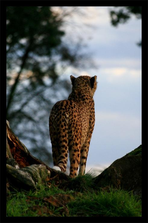 guepard22oct1.jpg