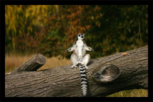 lemuriens22oct19.jpg
