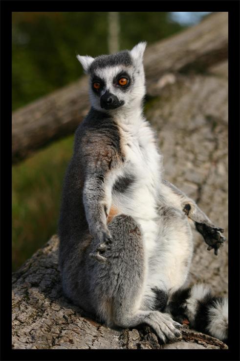 lemuriens22oct30.jpg