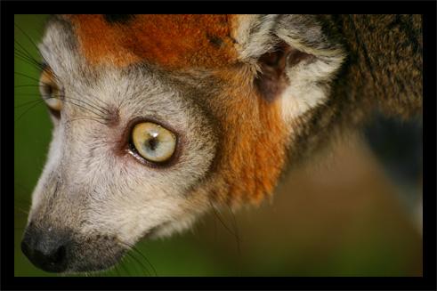 lemuriens22oct46.jpg