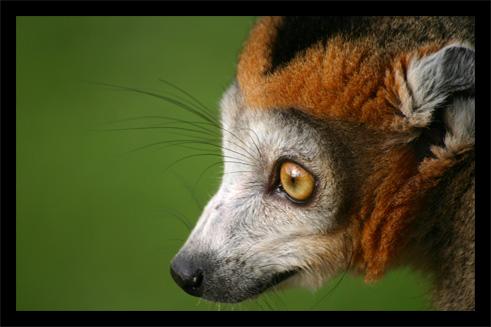 lemuriens22oct56.jpg