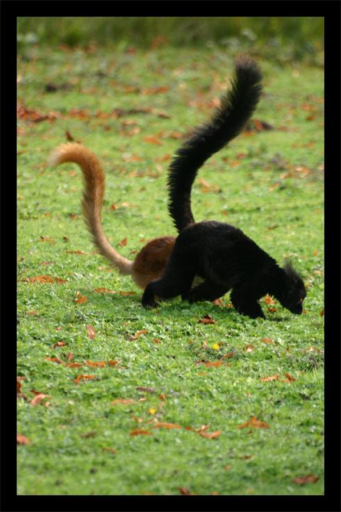 lemuriens22oct61.jpg