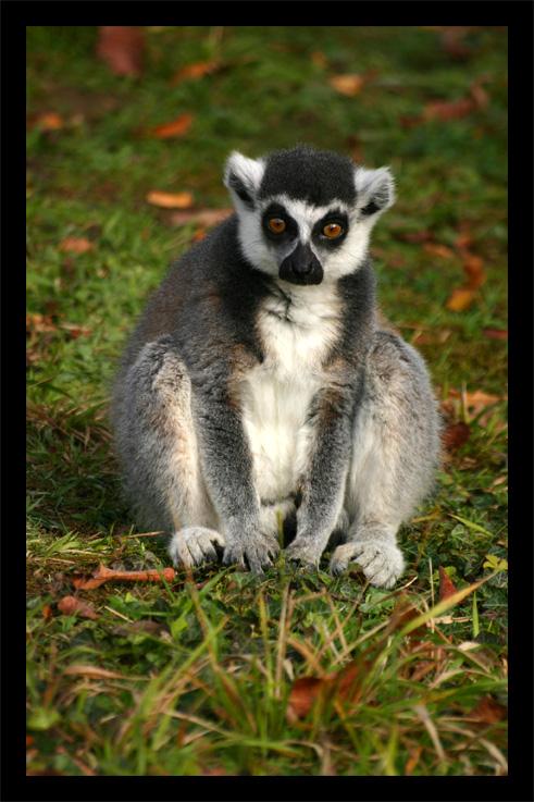 lemuriens22oct75.jpg
