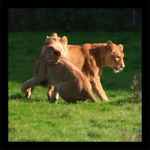 lions22oct1.jpg
