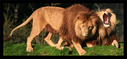lions22oct2.jpg
