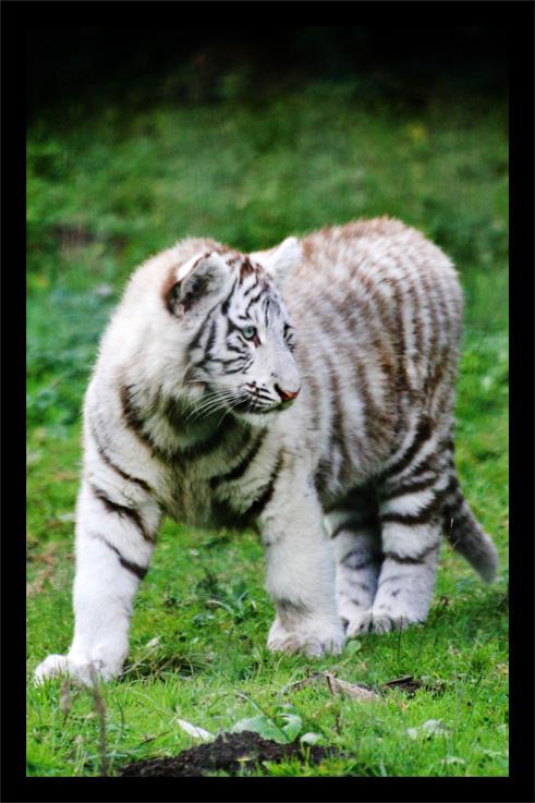 tigreblanc1.jpg