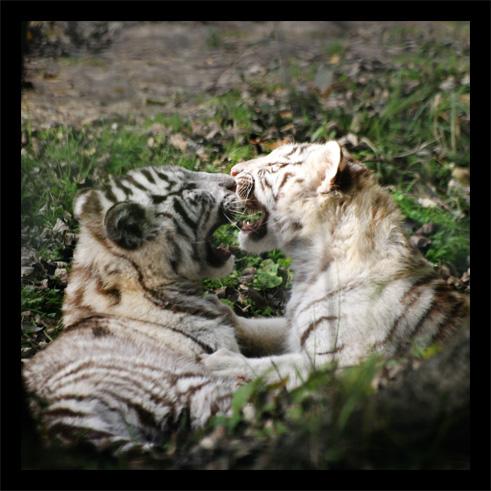 tigreblanc2.jpg