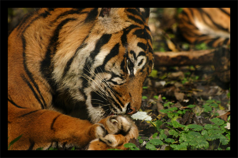 tigres22oct1.jpg