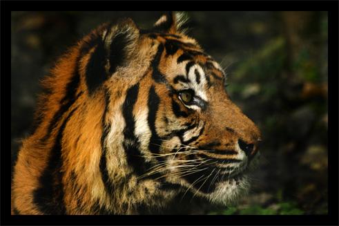 tigres22oct2.jpg