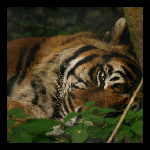 tigres22oct3.jpg